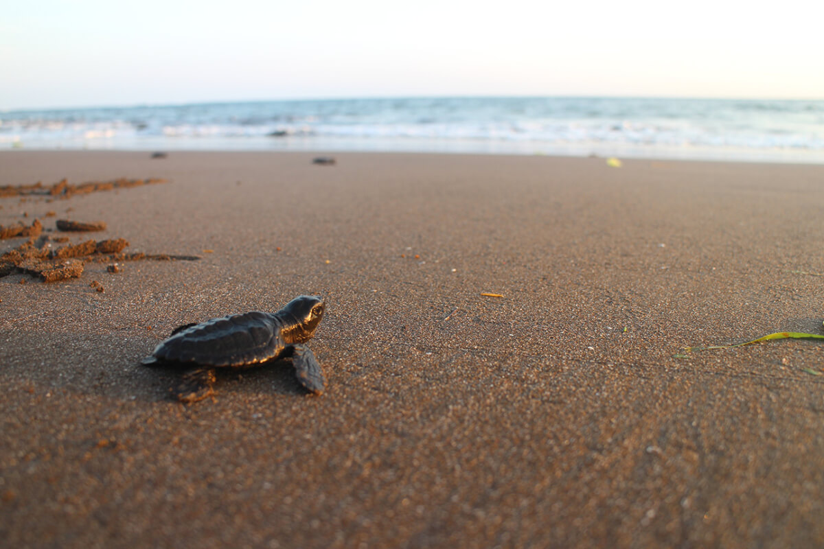 Releasing baby turtles with the Turtle Conservation Center in Bali5